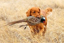 Prepare for Hunting dog with pheasant